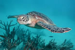 Green Island Sea Turtle